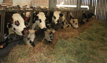 """Trop confiants, et jamais à court, les éleveurs ont vendu une partie de leur foin au printemps dernier. La sécheresse estivale est revenue comme un boomerang. """"Nous avons dû racheter du foin séché aux champs. Mais on voit clairement la différence avec le nôtre (plus vert). Les vaches aussi: elles font le tri."""""""