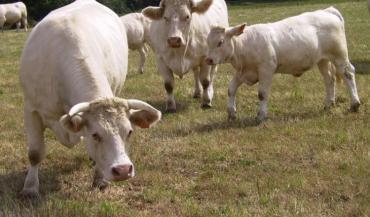 Les éleveurs de bovins allaitants toucheront 187 € par vache jusqu'à la 50e puis 140 € jusqu'à la 99e et 75 € de la 100e à la 139e.