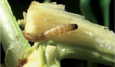 Les jeunes larves de sésamies issues des pontes de papillons précoces sont visibles(photo Arvalis - Institut du végétal)